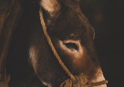 The Donkey of Bethlehem