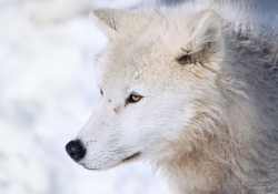 Portrait of an Arctic Wolf