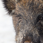 Great detail zoomed into this boar's face