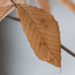 Beech leaf provides scale